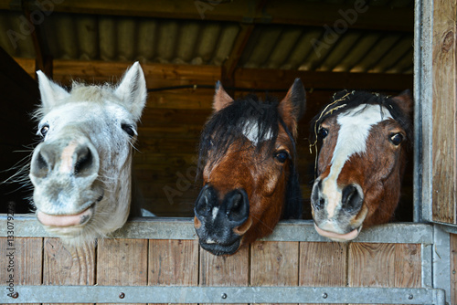 Portrait of three funny smiling horses heads in their stable. Equestrianan horse riding concept