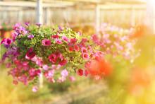 Petunias Flowers At Sunrise