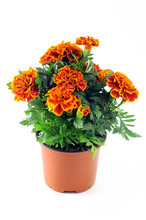 Tagetes Flower On White Background
