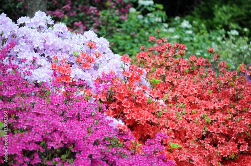 Fotobehang Azalea pink azalea bush blossom in springtime