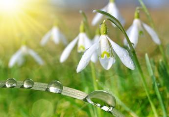 Fototapeta Optyczne powiększenie Dew drop on grass and snowdrop flower close up. Spring season.