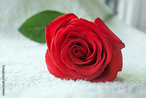 Fotografie, Obraz  Beautiful big red rose close up