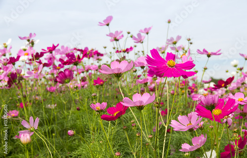 Cosmos Flower Field With Sky Spring Season Flowers Kaufen Sie