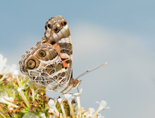 Vanessa Virginiensis, American Painted Lady Butterfly, Feeding On A White Butterflybush, Against Partly Cloudy Sky