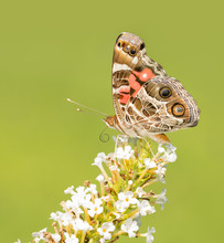 American Painted Lady, Vanessa Virginiensis Butterfly, On A White Buddleia Flower Cluster With Green Background
