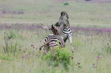 Zebras Fighting In The Rietvle...