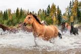 Fototapeta Konie - Horses Crossing a River in Alberta, Canada