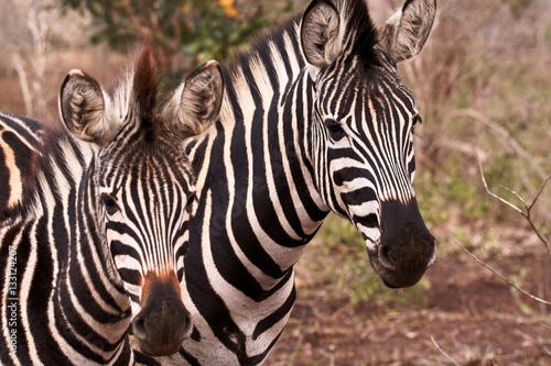 In de dag Bleke violet Burchell's zebra mother and foal standing in formation