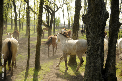 Horses galloping in between trees Poster
