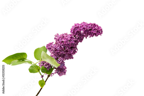 Foto op Canvas Lilac lilac flowers isolated