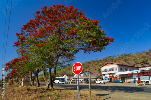 South Africa Swaziland Interior Red Flowers Of Acacia Tree And A