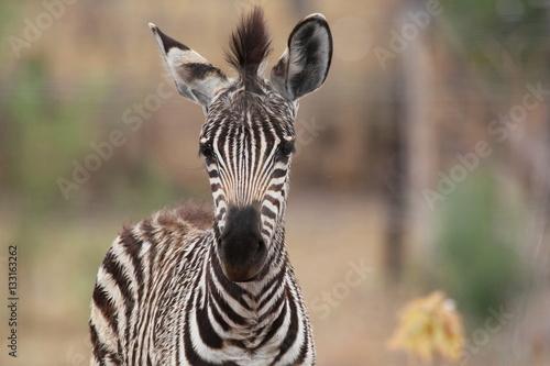 Poster Zebra Baby Zebra