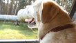 Dog breed labrador or golden retriver looking into a car window. Domestic animal sticks head out moving auto to enjoying the wind and watching the world. Close up