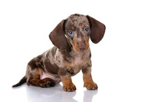 Little Dachshund Puppy On A Wh...