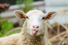 Funny Sheep. Portrait Of Sheep...