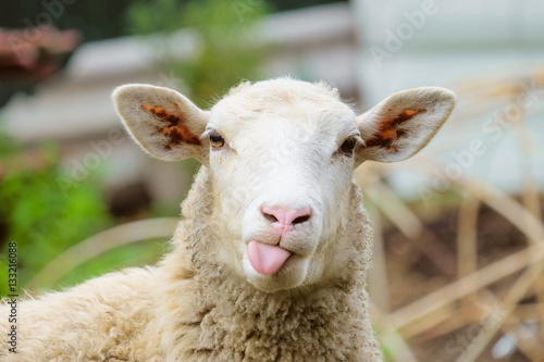 Spoed Fotobehang Schapen Funny sheep. Portrait of sheep showing tongue.