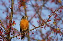 Red Robin Morning