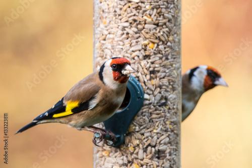 Carta da parati Goldfinch feeder