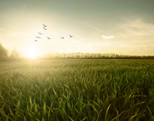 Green Field Of  Birds