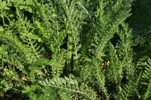 Green Leaves Of Yarrow Or Achi...