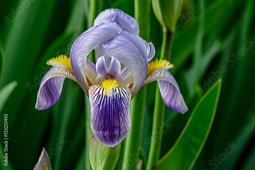 Iris Germanica Profile