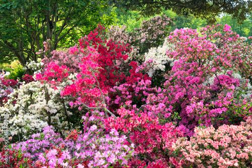 Plakat Kolorowe azalie w ogródzie w wiośnie