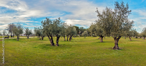 Foto op Aluminium Olijfboom Panoramic view of green grass field with olive trees under blue sky