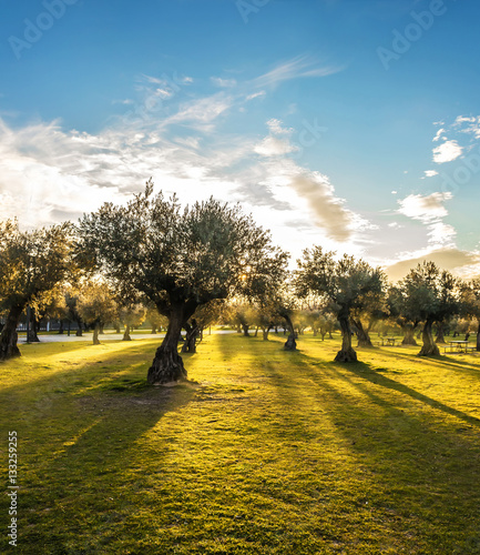 Poster Olijfboom Panoramic view of sunset behind grass field and olive trees