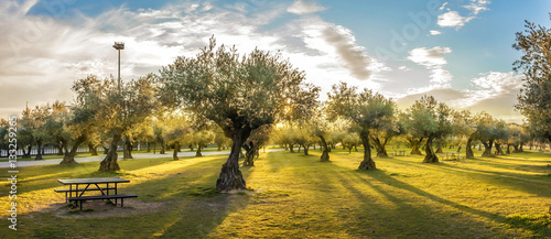 Foto op Plexiglas Olijfboom Panoramic view of sunset behind grass field and olive trees