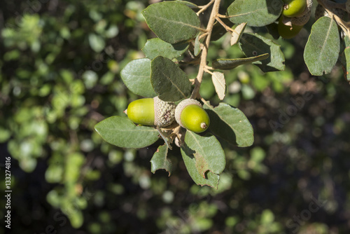 Foliage and acorns of Holm Oak, Quercus ilex. Photo taken in Ciudad Real Province, Spain