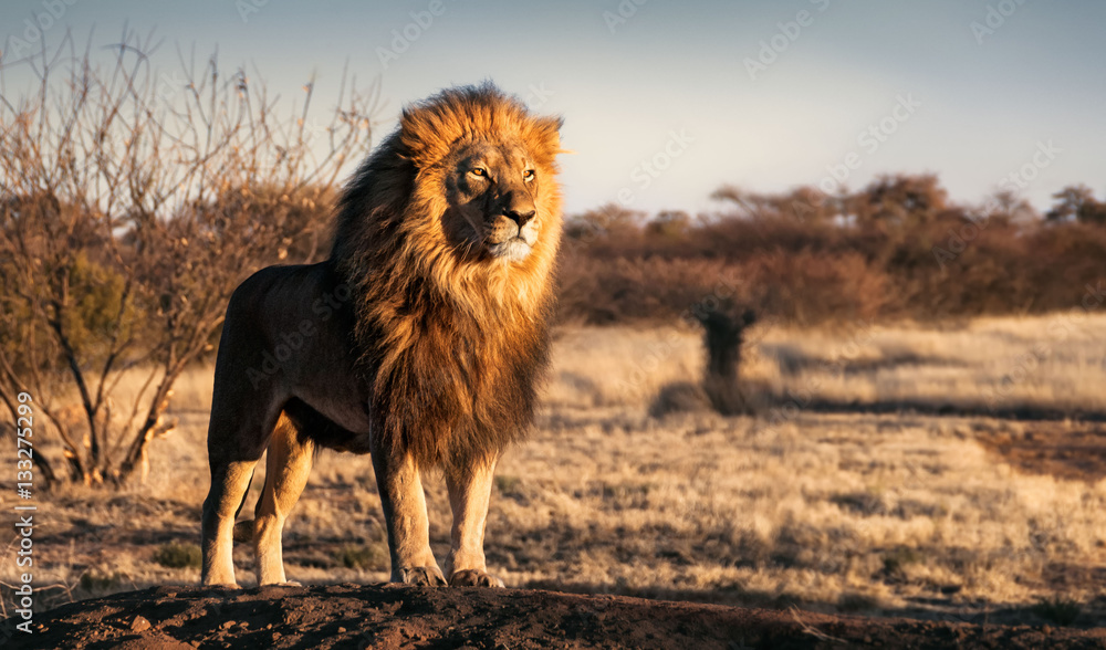 Fototapeta Single lion standing proudly on a small hill