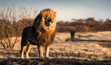 Single Lion Standing Proudly O...