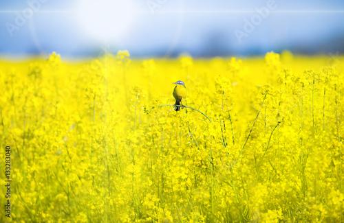 eine Schafstelze sitzt bei Sonnenschein in einem blühenden Rapsfeld