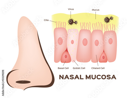 Nasal mucosa cells in nose vector