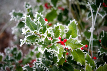 Ilex Im Winter