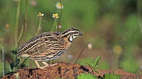 Fotografia Bird, Rain Quail (Cotumix coromandelica) on a rock,Beautiful bir