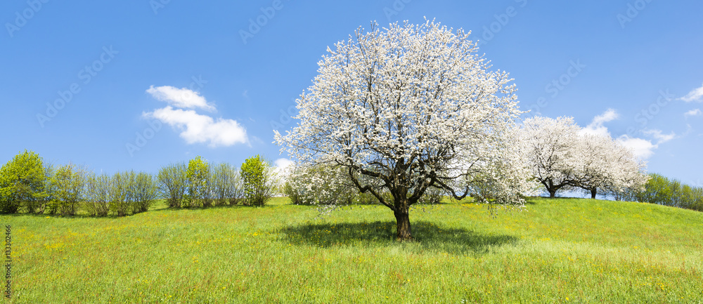 Fototapety, obrazy: Spring. Fruit tree in white bloom. Cherry flowers. Alps meadow with wild flowers and lush spring grass.