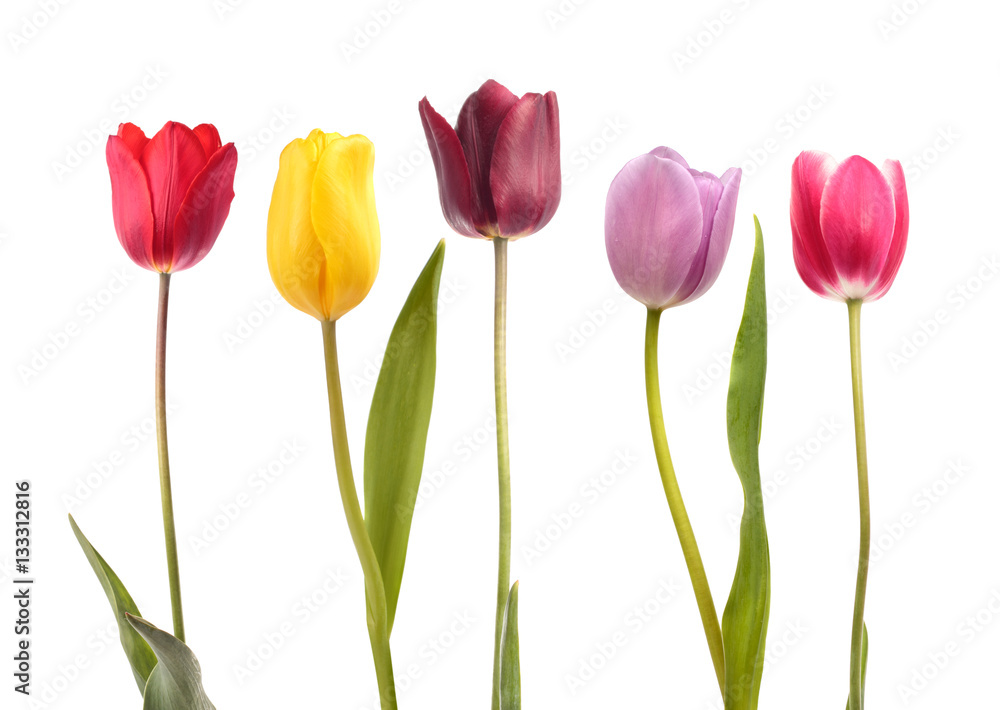 Set of five different color tulips