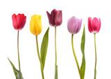 Fototapeta Tulipany - Set of five different color  tulips
