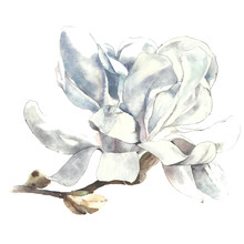 Magnolia Flower Watercolor Painting Illustration Greeting Card Isolated On White Background