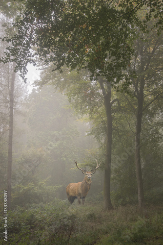 Beautiful image of red deer stag in foggy Autumn colorful forest