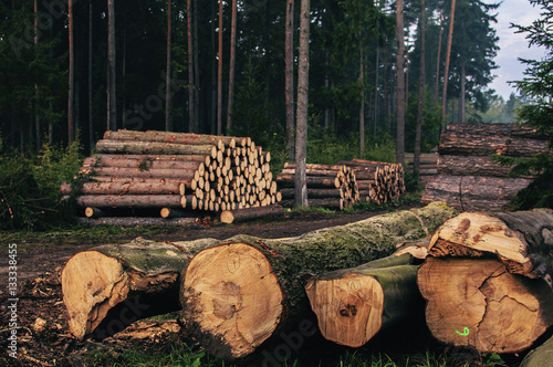 Fotografia  Logs of chopped trees lying in forest