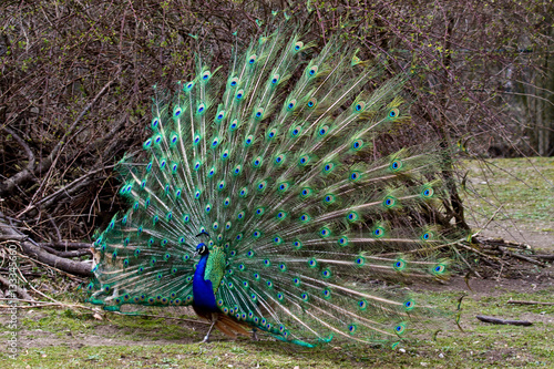 Fotografie, Obraz  Blauer Pfau - Pavo cristatus