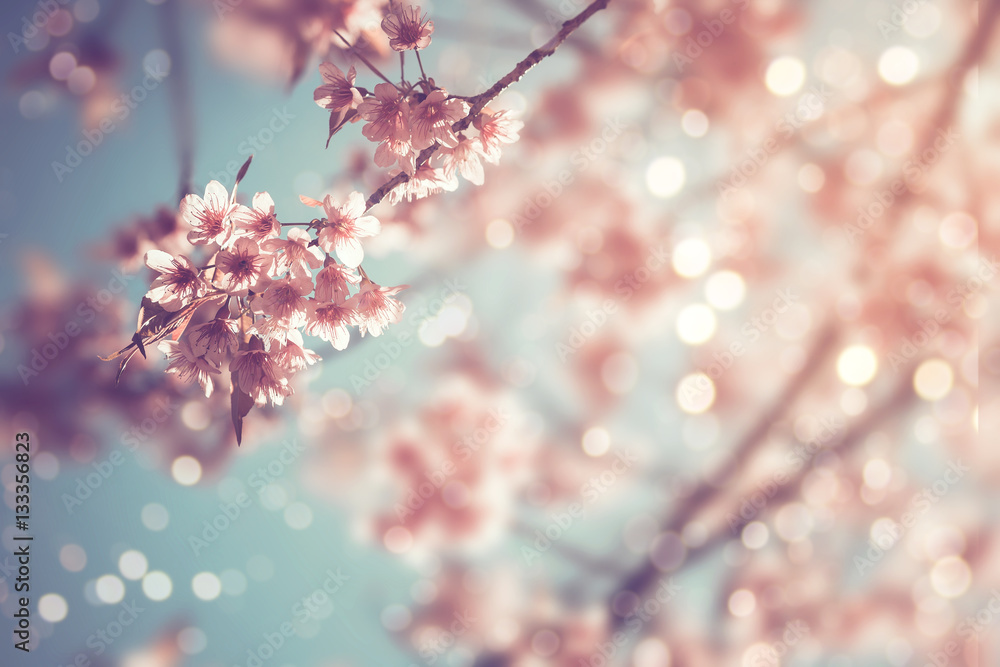 Fototapety, obrazy: Close-up of beautiful vintage sakura tree flower (cherry blossom) in spring. vintage color tone style.