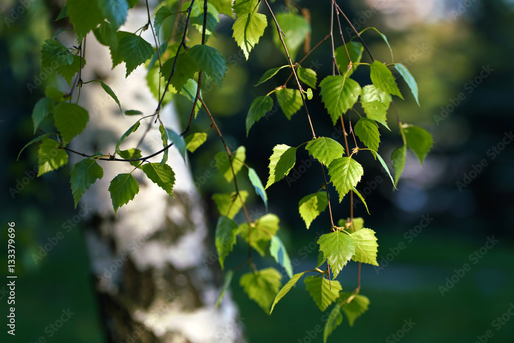 Young juicy green leaves on the branches of a birch in the sun outdoors in spring summer close-up macro on the background of birch trunk. Spring Awakening, beautiful vivid colorful artistic image.