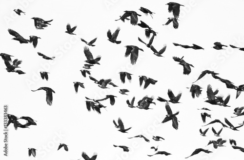 Photo Stands Bird flock of birds isolated on white background and texture, ( Rook and Jackdaw )