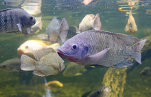 Red Tilapia Fish Swimming In A...