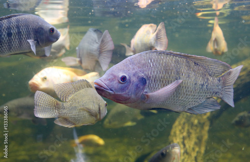 Valokuva Red Tilapia fish swimming in a pond
