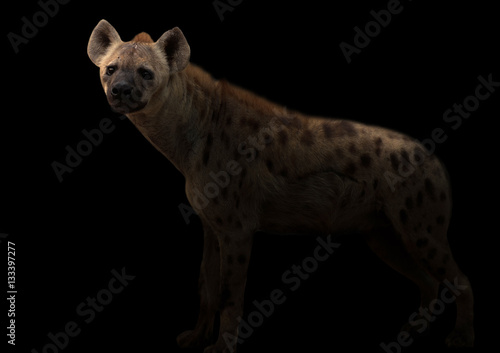 Deurstickers Hyena spotted hyena in the dark