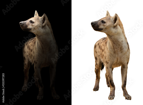 Spoed Foto op Canvas Hyena spotted hyena in the dark and white background